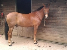 Pony for loan to stay at current yard in Winterbourne Bristol