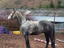 8 year-old - All Rounder - Gelding - 15. 3 hh - Powys
