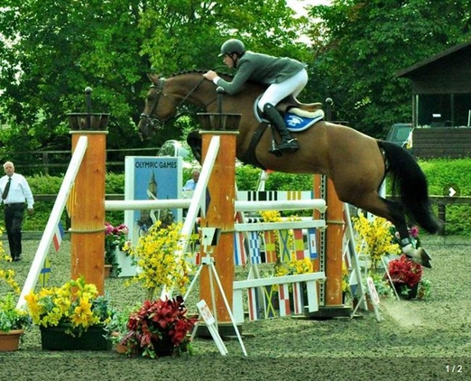 CONNOR VIII Bay Gelding 7yrs 16.2hh