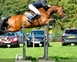 CONNOR VIII Bay Gelding 7yrs 16.2hh for sale in United Kingdom