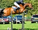 CONNOR VIII Bay Gelding 7yrs 16.2hh for sale