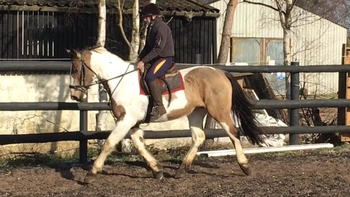 4 year-old - All Rounder - Mare - 16.1 hh - Norfolk