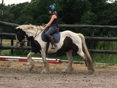 Cobs - 15.3 hh - Norfolk