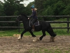 Cobs - 14.2 hh - Norfolk