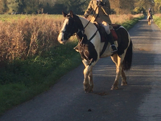 Irish Cob - Cobs - 15 hh - Norfolk