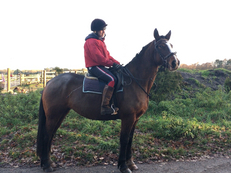 All Rounder - Mare - 16 hh - Norfolk