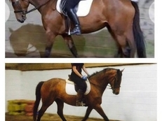 Pretty 15'3 Bay Mare Irish Sports Horse