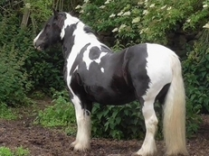 Heavyweight Cob Gelding