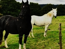 Sharer wanted for beautiful 15.2 Irish Cob X