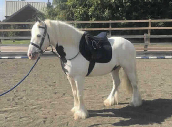 Middleweight - For Adoption - Gelding - 13.2 hh