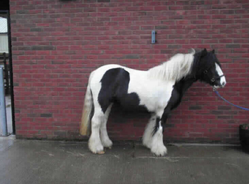 Middleweight - For Adoption - Mare - 12.3 hh