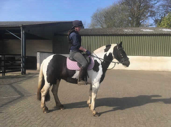 Middleweight - For Adoption - 13.3 hh