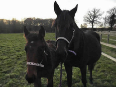 Standardbred - For Adoption - 16 hh - South Oxfordshire