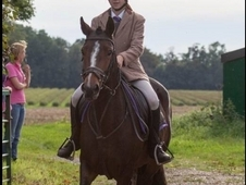 Connemara - All Rounder - 14. 2 hh - Norfolk