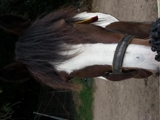 Gypsy cob for part loan