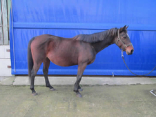 13 year-old - Anglo Arab - Arab - Mare - 14. 2 hh - Surrey