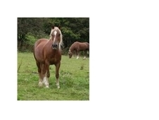 Welsh Cob Mare for Part Loan