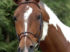 AT STUD: ALDERFARN VII (Elvis / Escapism) Coloured stallion