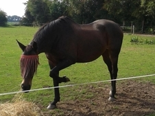PART LOAN/15. 1hh Dark Bay Mare