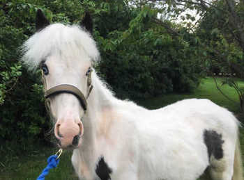Lightweight - For Adoption - 13 hh - Denbighshire