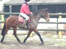 5 year-old - All Rounder - Mare - 16 hh - Norfolk