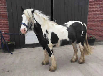 Middleweight - For Adoption - Mare - 12 hh