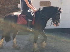 4 year-old - Cobs - 14.2 hh - Norfolk
