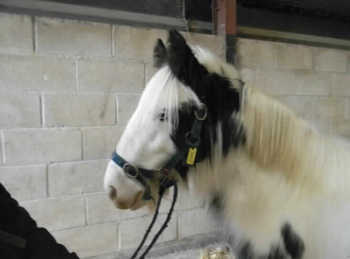 Middleweight - For Adoption - Gelding - 13 hh - Wiltshire