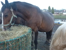 15.3 BAY COMPANION / BROODMARE in Stoke On Trent