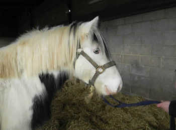 Middleweight - For Adoption - Mare - 13 hh - South Oxfordshire