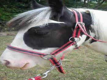 Middleweight - For Adoption - 13 hh - Hertfordshire