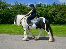 9 year-old - Cob - All Rounder - Mare - 14 hh - West Yorkshire