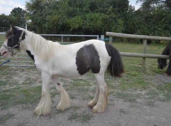 Middleweight - For Adoption - Filly - 13 hh - East Kent