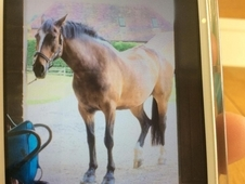 Sharer wanted for 16. 3hh gelding