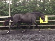 All Rounder horse -  16.2 hh Black - Cambridgeshire