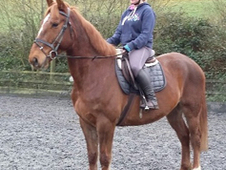 7 year-old - All Rounder - Gelding - 16. 2 hh - Powys