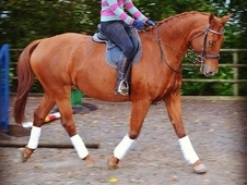 Warmblood gelding for share