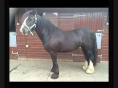 Bess 14'2 10 year old cob mare