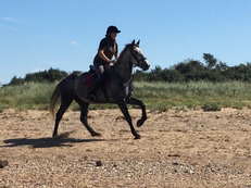 4 year-old - All Rounder - 16.2 hh - Norfolk
