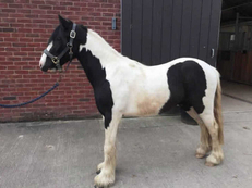 Middleweight - For Adoption - Gelding - 12 hh