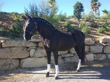 6 year-old - Lusitano - Stallion - 1575 hh - Spain