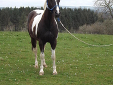 Paint Gelding - Loves Hacking!