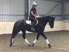 ID x TB, Black, Mare, 5 years, 16. 1 hands. Great fun horse