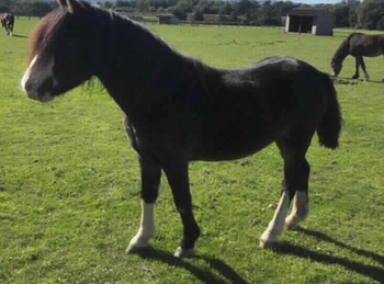 Part - For Adoption - Gelding - 11.1 hh