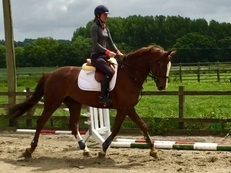 9 year-old - All Rounder - Mare - 16.2 hh - Oxfordshire