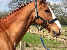 9 year-old - All Rounder - Gelding - 16.2 hh - Oxfordshire