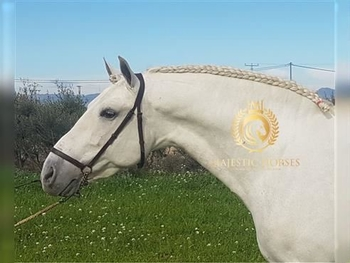 8 year-old - P.R.E. - Stallion - 1575 hh - Spain