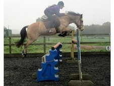 Irish Sports Pony, Dun, Gelding, 18 years, 13. 2 hands. A true ge...
