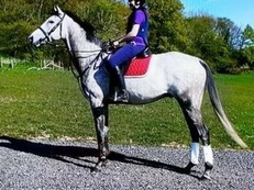 Billy 17.2hh Grey TB for Share