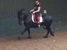 Full up 13.3hh 6 year old fell pony gelding for sale